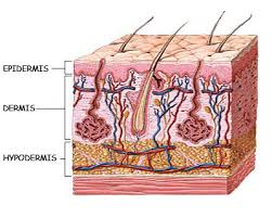 The layers of our skin